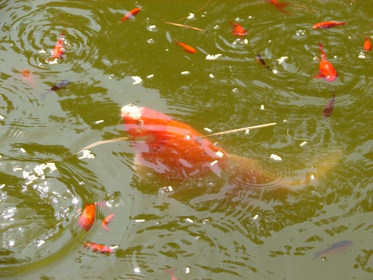 Tiere auf unserem Hof - Kois im Fischteich
