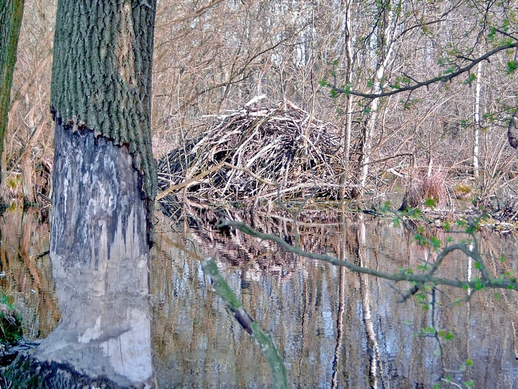 Construction of a beaver, moorland, forest, tumulus