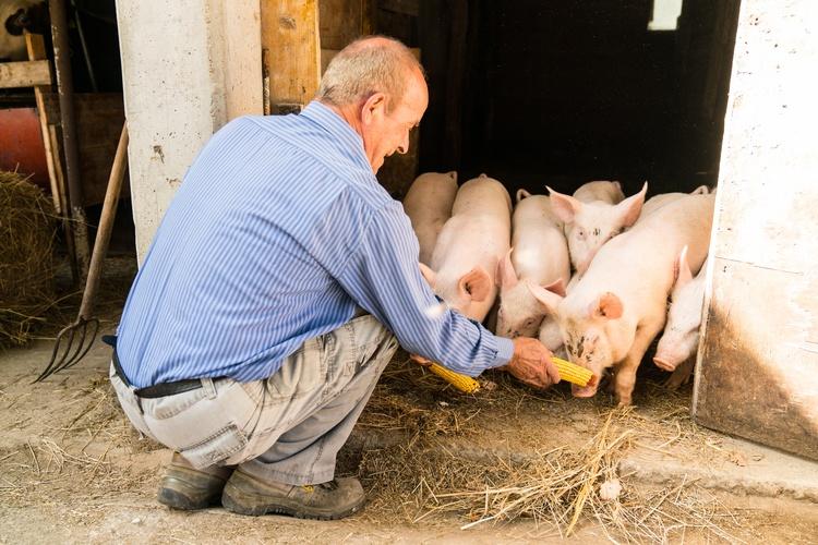 Aufzucht von Hausschweinen