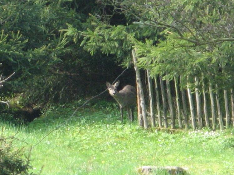 Hirsch beim Zaun
