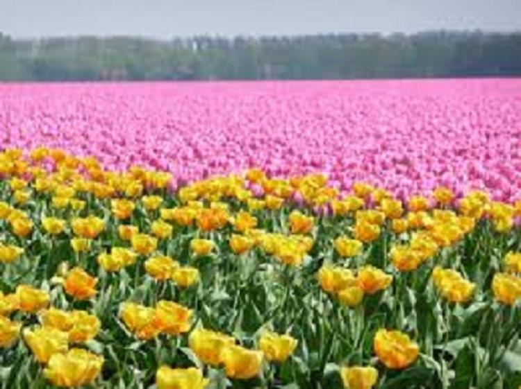 Tulips in Mai