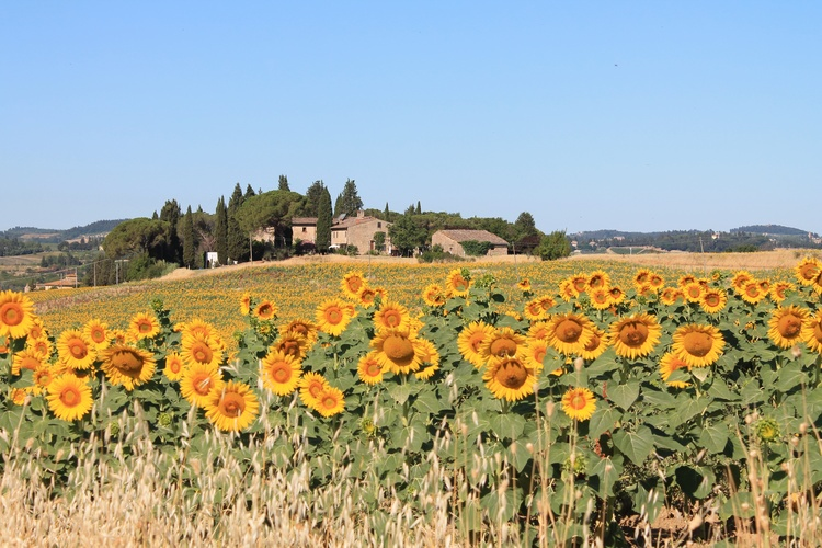 Il Poggio surrounded by sunflowers