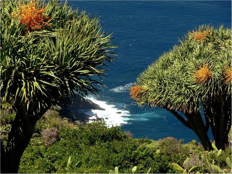 drago trees endemic