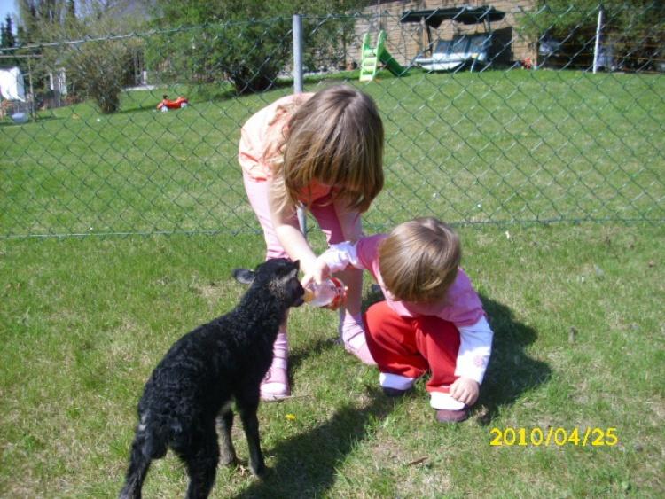 Tiere auf unserem Hof - Nachwuchs auf dem Ferienhof, ein ein Heidschnuckenbaby